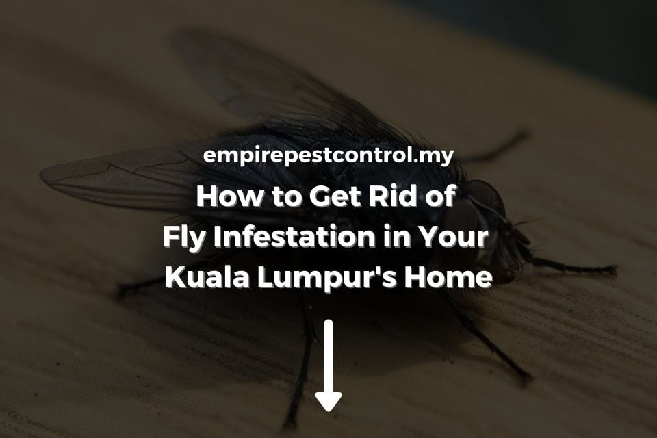 How to Get Rid of Fly Infestation in Your Kuala Lumpur's Home