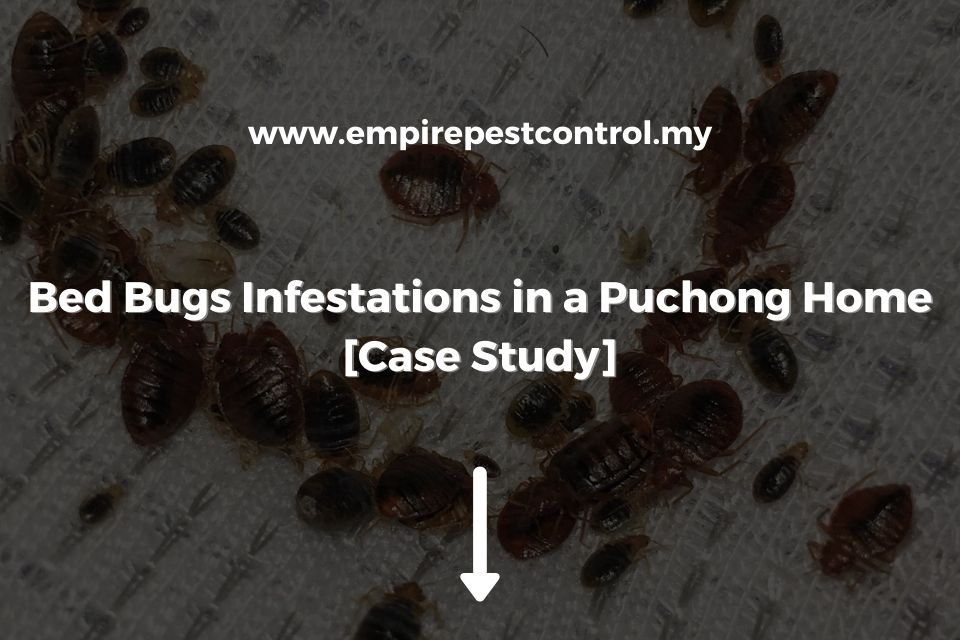 Bed Bugs Infestations in Puchong Home