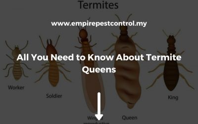 All You Need to Know about Termite Queens