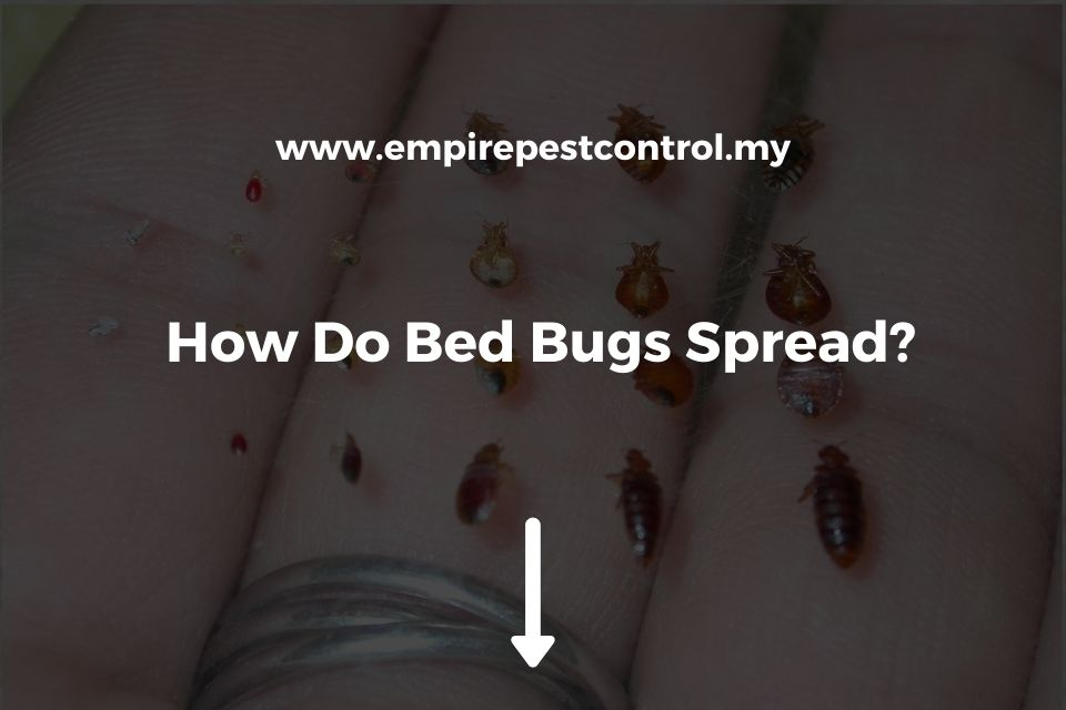 How Do Bed Bugs Spread?
