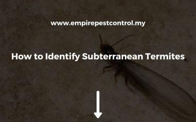 How to Identify Subterranean Termites
