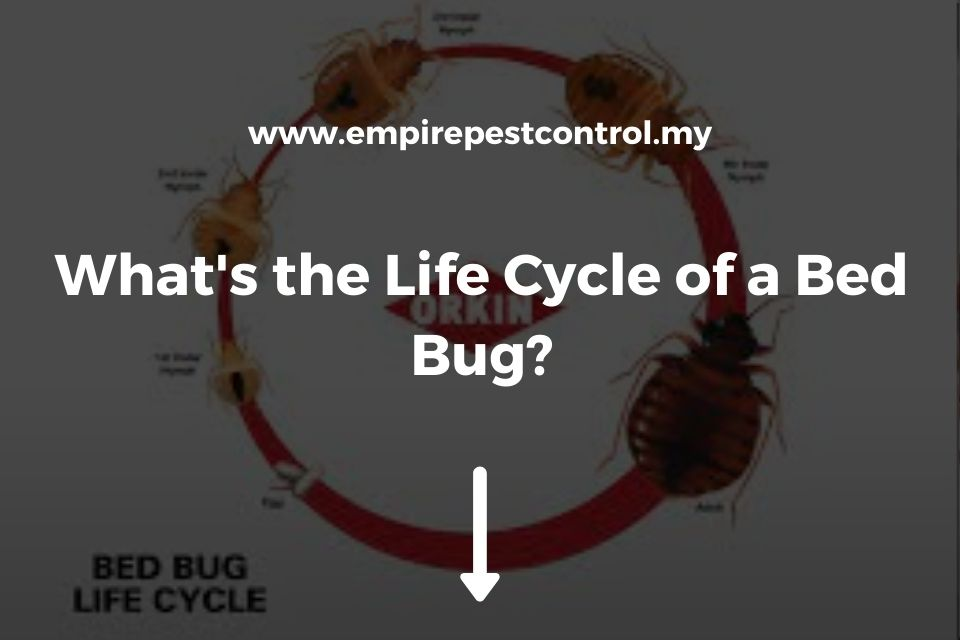 What's the Life Cycle of a Bed Bug?