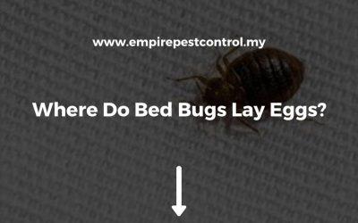 Where Do Bed Bugs Lay Eggs?