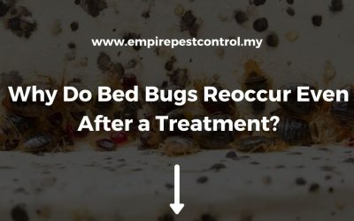 Why Do Bed Bugs Reoccur Even After a Treatment?