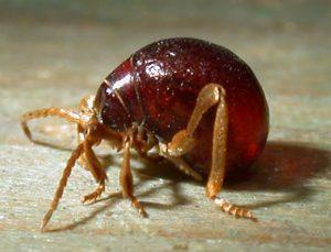 spider beetles
