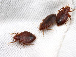 bed bug comes back