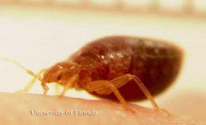 bed bug feeding