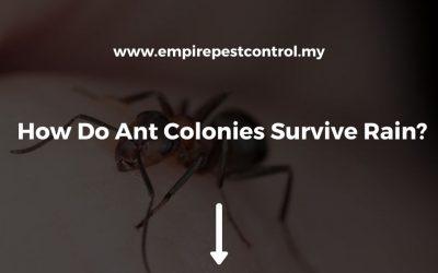 How Do Ant Colonies Survive Rain?