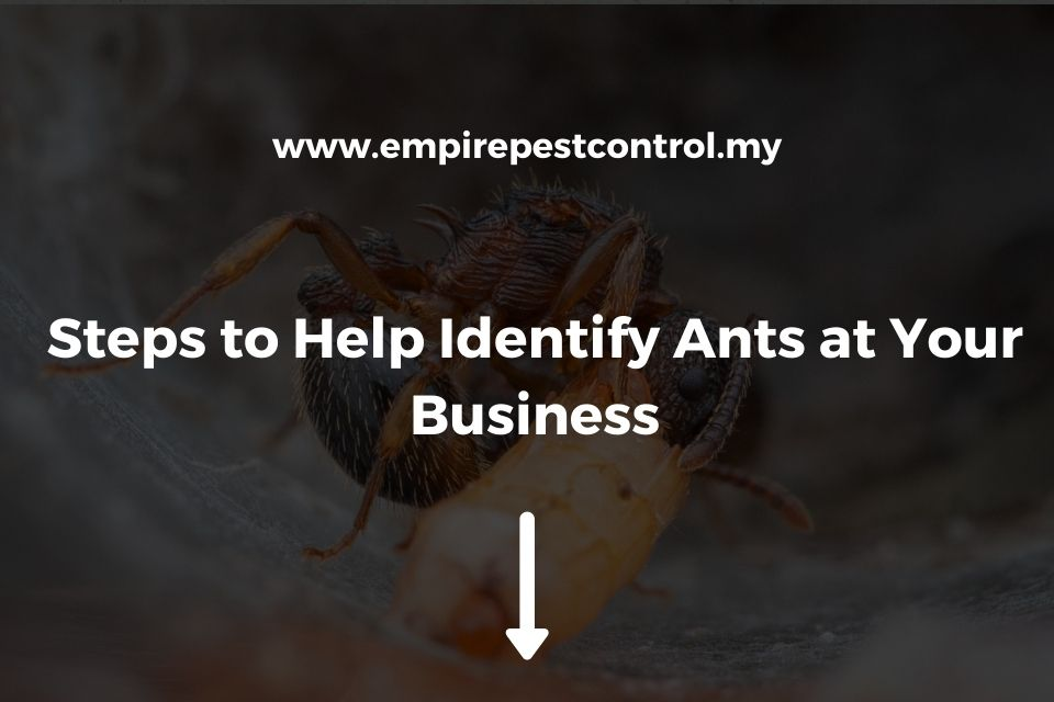 Steps to Help Identify Ants at Your Business
