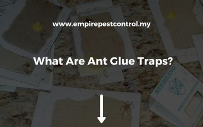 What Are Ant Glue Traps?