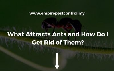 What Attracts Ants and How Do I Get Rid of Them?