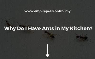 Why Do I Have Ants in My Kitchen?