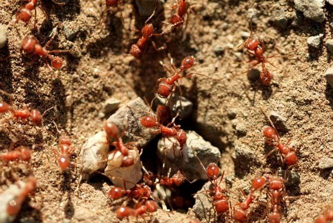 fire ants stay
