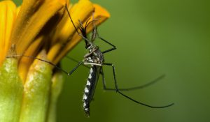 flower mosquitoes