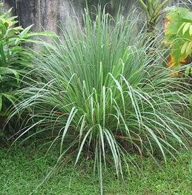repellant plants
